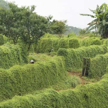 Jiaogulan Anbau Nordt-Tailand